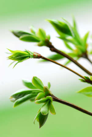 Tree branches with spring green budding leaves closeup