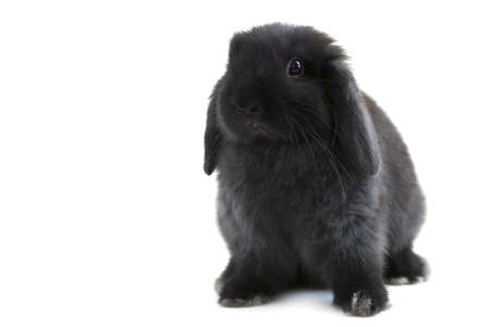 Black holland lop bunny rabbit isolated on white background