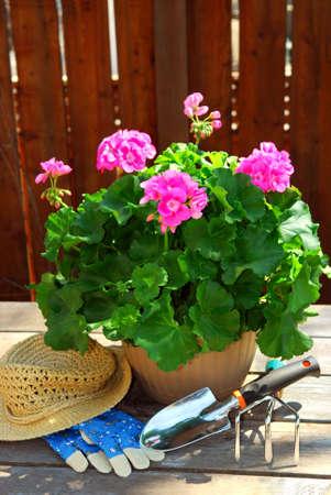 Topf Pelargonieblumen mit im Garten arbeitenden Werkzeugen