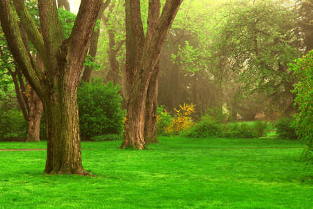 treed: Old trees in the spring foggy park