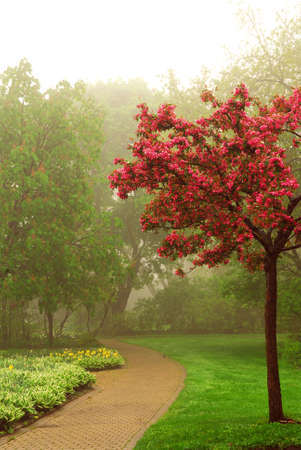 treed: Path in a green foggy park in the spring with blooming apple tree