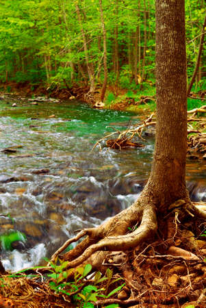 Beautiful landscape of a forest river flowing by a tree with exposed roots