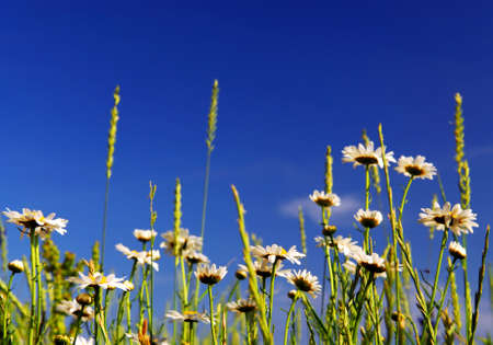 Summer meadow background with blooming daisy flowers and bright blue sky photo