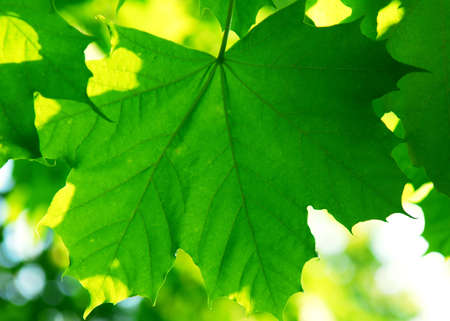 Background of green maple leaves backlit by afternoon sun Stock Photo - 1327206