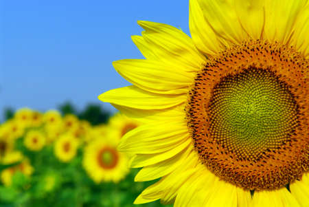 Background of sunflower field with one flower close up photo