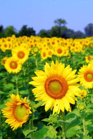 夏に黄色いひまわりの咲くフィールド