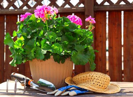 transplanting: Pot of geraniums flowers with gardening tools