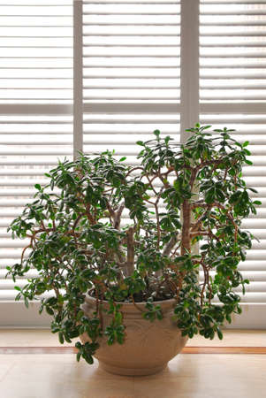 jade plant: House plant jade tree in a pot and glass wall with blinds Stock Photo