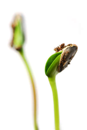 sementi: Due verdi germogli di piante di girasole isolato su sfondo bianco