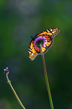 Monarch butterfly sitting on a flower backlit by sunlight photo