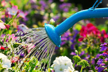 watering can: Water pouring from blue watering can onto blooming flower bed