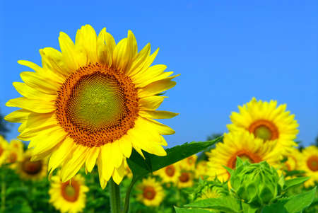 Blooming sunflower field with big sunflower head in the foreground photo
