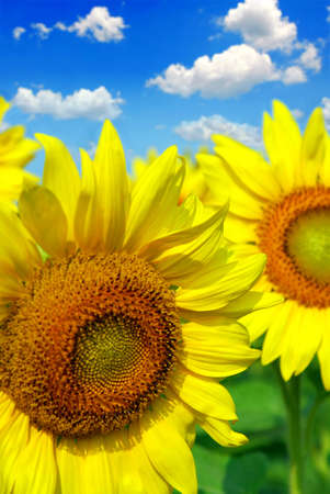 Close up on sunflowers in blooming sunflower field photo