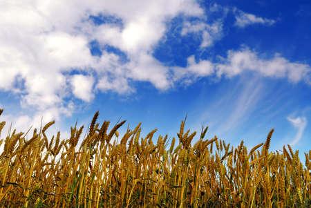 yelllow: Farm field with yelllow grain (rye)  under deep blue sky Stock Photo