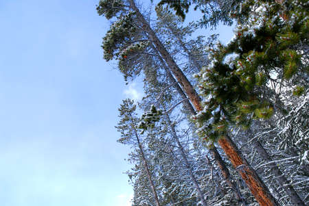 Snow covered tall pine trees reaching towards clear blue sky Stock Photo - 1490631