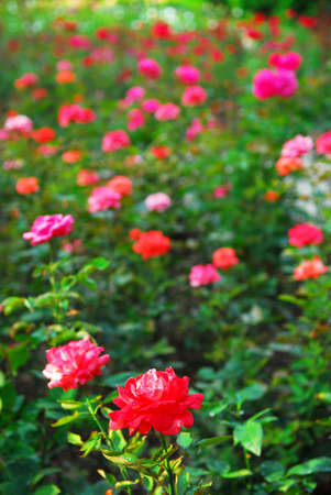 Background of blooming field of various roses Stok Fotoğraf