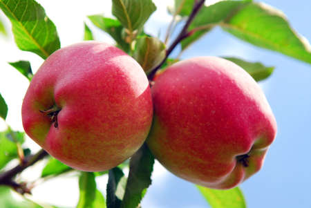 Ripe red apples on a apple tree branch in an orchard Stockfoto