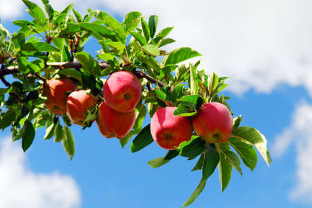Red ripe apples on apple tree branch, blue sky background photo