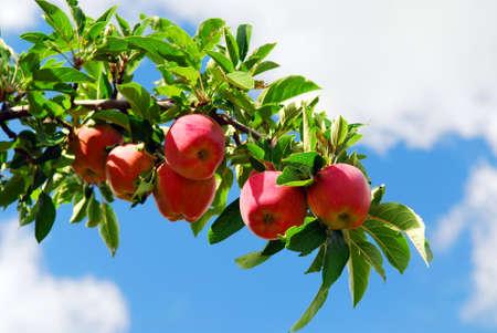 Rode rijpe appelen op appelboom tak, blue sky background