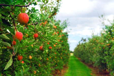 Apfelgarten mit roten reifen Äpfel an den Bäumen