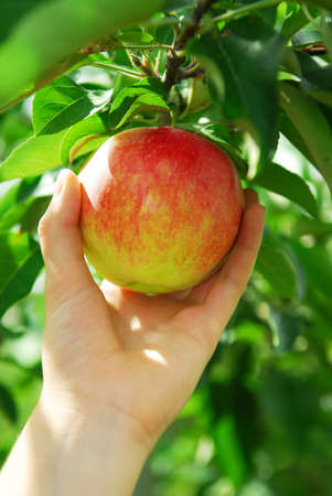 Closeup on a hand picking a red apple from an apple tree Stockfoto