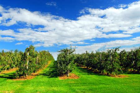Apple boomgaard met rode rijpe appels aan de bomen onder de blauwe hemel Stockfoto
