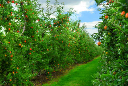 abundant: Apple orchard with red ripe apples on the trees under blue sky