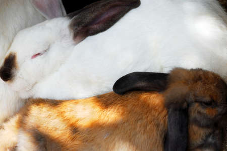 Two sleeping rabbits, white and brown, closeup Stock Photo - 1576770