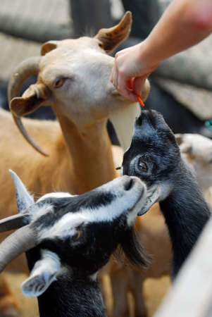 enclosures: A child feeding goats at the petting zoo