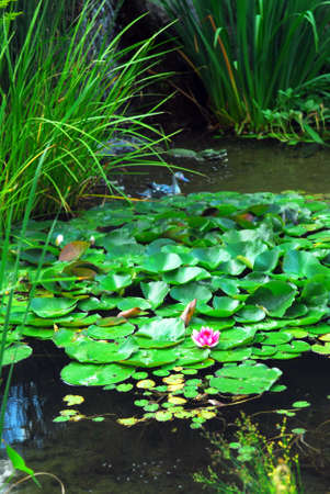 back yard pond: Lanscape pond with aquatic plants and water lilies