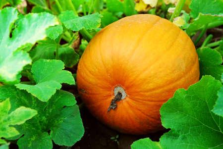 Big pumpkin growing on a pumpkin patch Stock Photo - 1620935