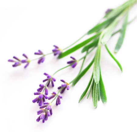 sprig: Sprigs of lavender isolated on white background