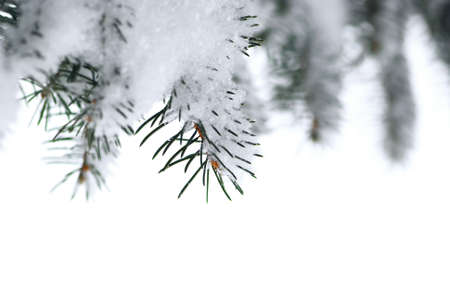 Branches of a winter spruce tree covered with fluffy snow isolated on white background, border for Christmas photo