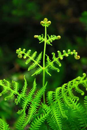 unfurl: Closeup on a green leaf of a fern growing in woodland