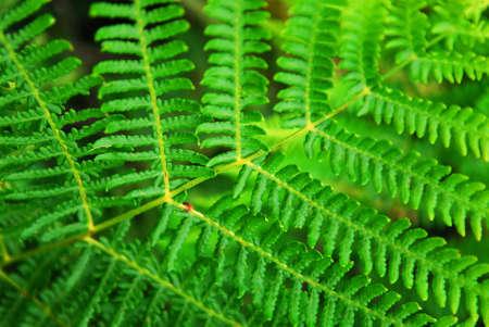 einrollen: Closeup auf einem gr�nen Blatt eines wachsenden Farn im Wald