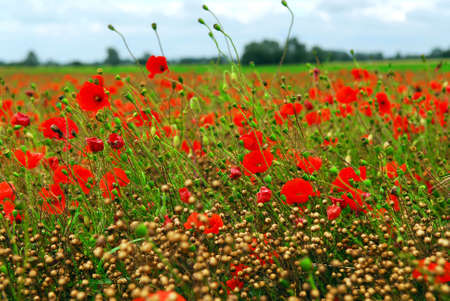 remembrance: Poppy field under overcast sky in Brittany, France Stock Photo