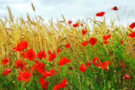 fleurs des champs: De plus en plus le pavot rouge dans un champ de seigle en Bretagne, en France.