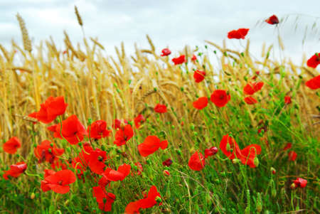 remembrance: Red poppies growing in a rye field in Brittany, France.