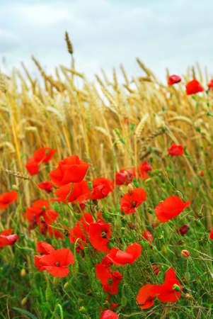Red poppies growing in a rye field