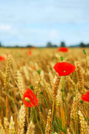 Red poppies growing in rye grain field Imagens - 1738237