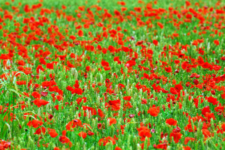 Red poppies growing in green rye grain field