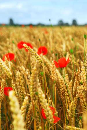 Red poppies growing in rye grain field