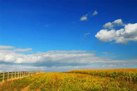 Farm fields on soybeans and corn under blue sky 版權商用圖片