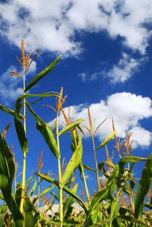 Farm field with growing corn under blue sky. photo