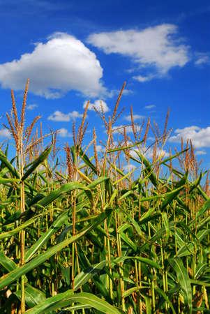 Farm field with growing corn under blue sky Stockfoto