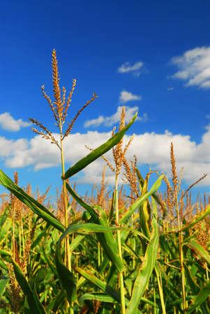 Farm field with growing corn under blue sky.