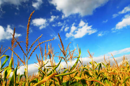 Farm field with growing corn under blue sky photo