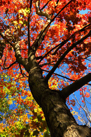 Autumn maple tree with red leaves in the fall forest Stock Photo - 1867996