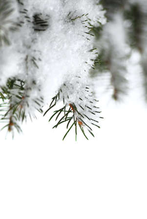 Christmas background with snowy spruce tree branches isolated on white photo