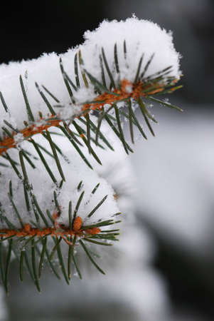 Macro of spruce branches covered with snow, single snowflakes visible at full size Stock Photo - 1867981